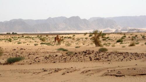 09.wadi rum camel-foto r.frej